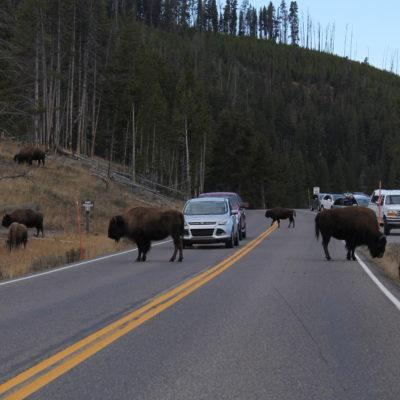 Bisontes cruzando la carretera y campando a sus anchas por el parque