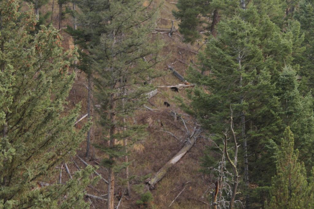 Osos Yellowstone