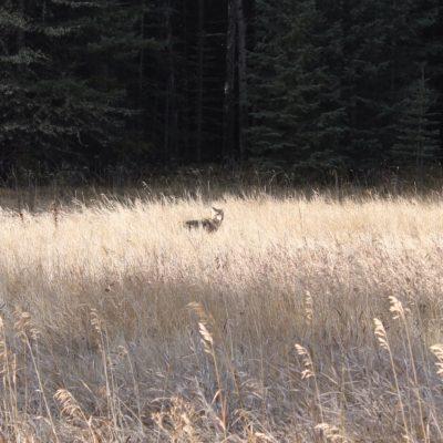 Nos encontramos un lobo suponemos que buscando algo de comida