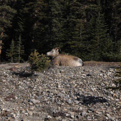 """El nombre en castellano de """"Bighorn sheep"""" es musmón o el carnero de las Rocosas"""