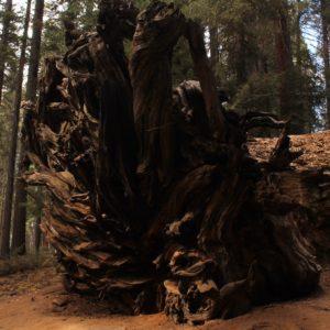 La base de una sequoia caída