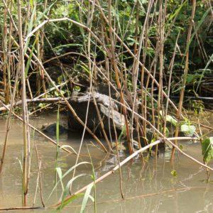 Este es el primer cocodrilo que vimos nada más empezar el viaje, pequeño pero ¡un cocodrilo!