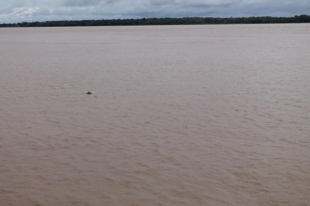 Delfín amazonas