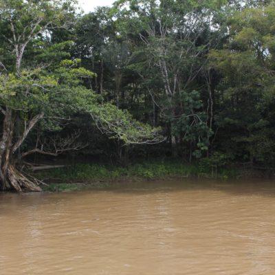 Amazonas árbol