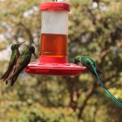 Este colibrí de cola larga y colores brillantes nos dejó alucinando