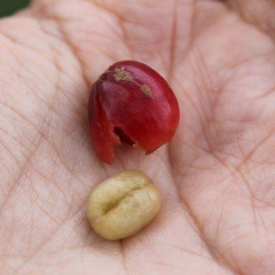 """El fruto de cafe y la semilla, que tras secarlo se le quita la """"piel"""" (el pergamino) y sale el grano de café"""