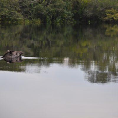 El momento más emocionante, fue en el que vimos pasar a este tapir de una orilla a la otra... ¡Qué suerte tuvimos!