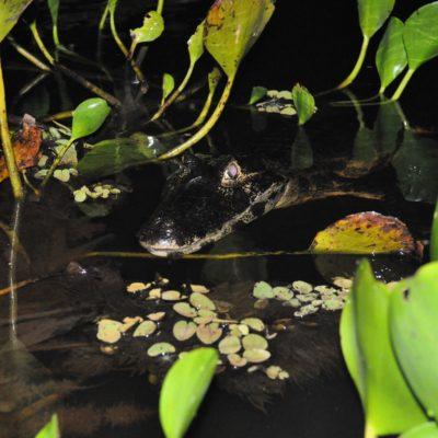 El caimán se acerco taaaaanto...