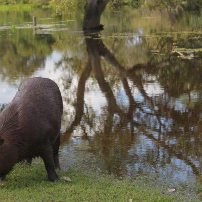 La capibara, un animal que parece híbrido entre el cerdo y la nutria, dejó que nos acercáramos bastante a él