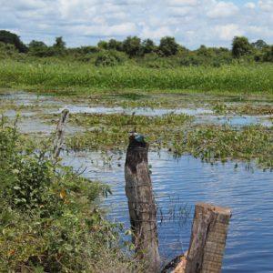 Es muy común ver a los martín pescadores secando sus alas para ganar velocidad en su siguiente caza