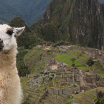 """Las llamas que se encuentran en Machu Picchu no son originarias de allí, ya que habitualmente están a más altura. Sin embargo, las llevaron allá, se adaptaron bien y ahora las utilizan de """"contracesped"""""""