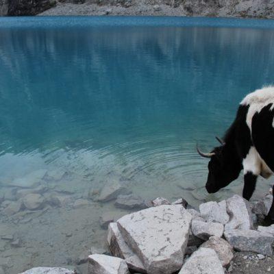 Fue gracioso ver a una vaca solitaria moviéndose entre los turistas haber si pillaba algo de comida