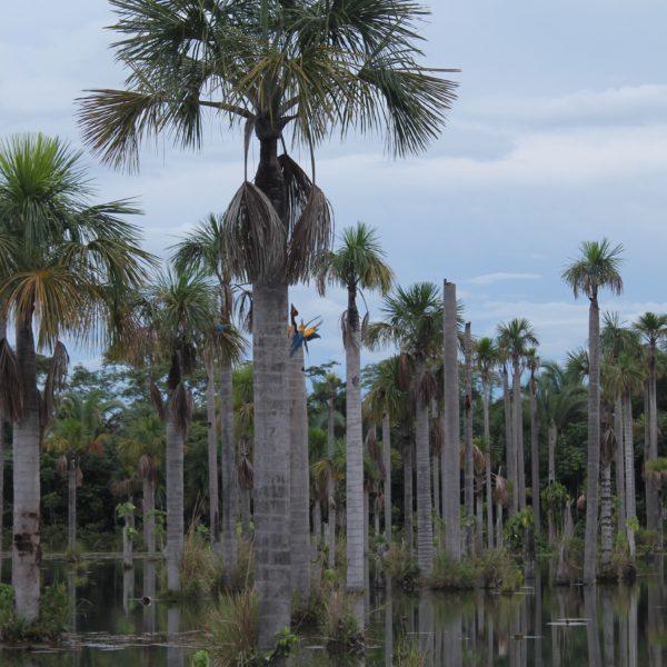 Parece que algunas palmeras eran mejores que otras, porque constantemente los guacamayos se peleaban por posarse en el tronco más concurrido