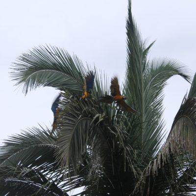 """Había tantos guacamayos, que resultó """"hasta"""" fácil capturar imágenes así, donde parece que sea la misma ave en movimiento"""