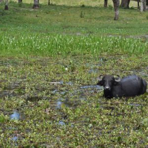 Aunque no son originarios de aquí, también vimos búfalos en la transpantanerea