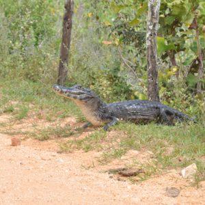 Uno de los primeros animales que vimos en la transpantanera fue este caimán dándonos la bienvenida