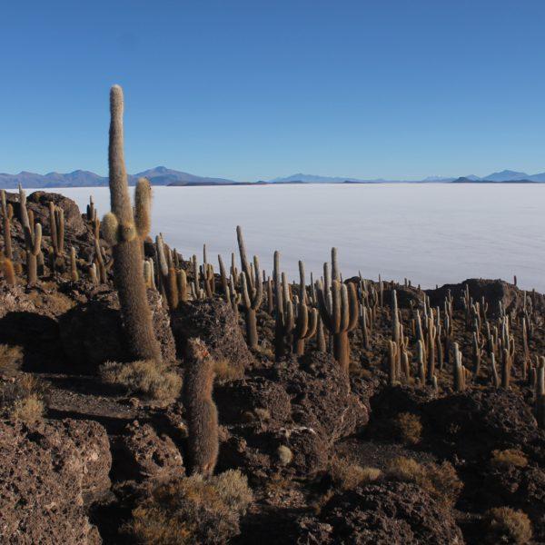 La isla Incahuasi está repleto de cactus de diferentes tamaños