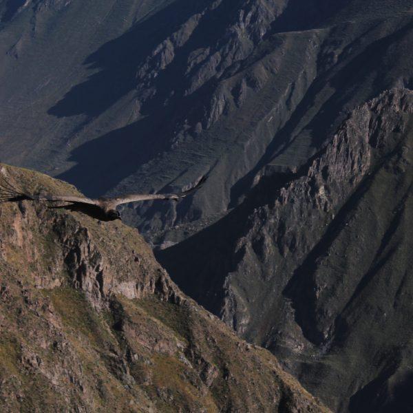 Los condor machos tienen una especie de cresta sobre el pico, entre otras características