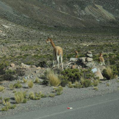 Las vicuñas tienen una piel muy preciada y cara, con las que se hacen trajes y todo tipo de ropa