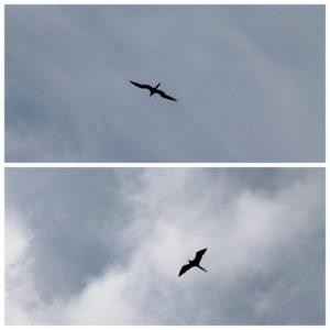 Estos pájaros nos recordaron a los pterodáctilos, no se muy bien porque