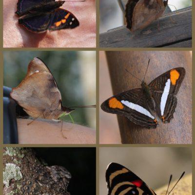 Del montón de diferentes mariposas que vimos, pudimos fotografiar éstas