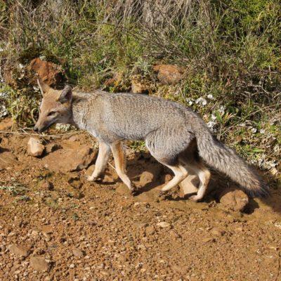 Mientras nos movíamos de un sendero a otro, nos cruzamos con este pequeño zorro