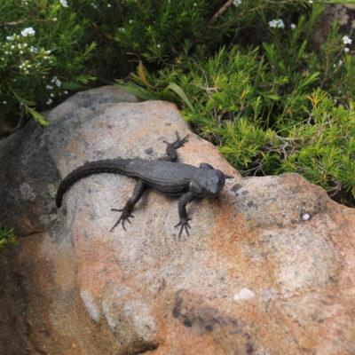 Este curioso lagarto nos dio la bienvenida al parque