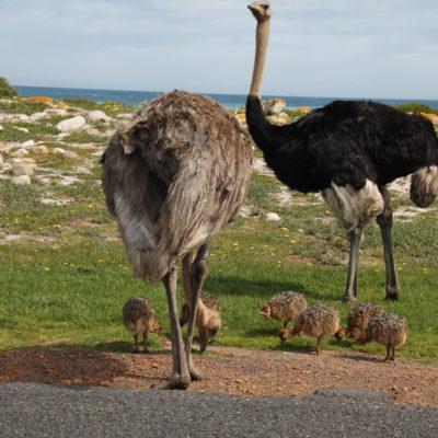 La primera vez que veíamos avestruces en libertad... ¡y además con crías!