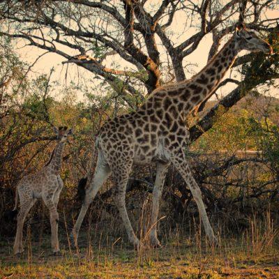 Cría jirafa