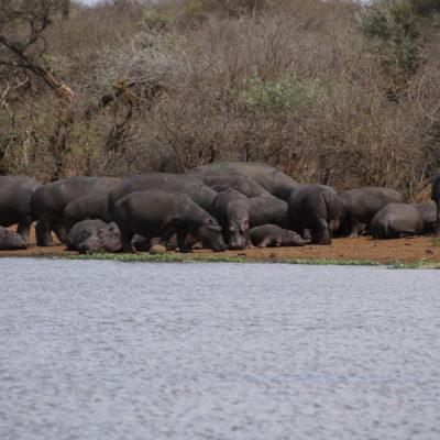 Hipopótamos