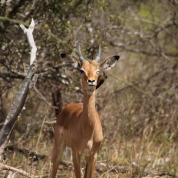 Kruger, nuestro primer safari (días 376-378)