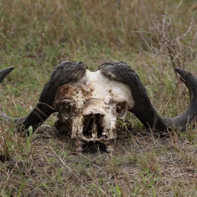 Calavera de búfalo