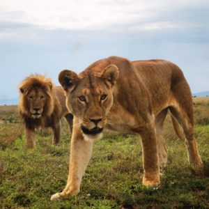 Así de cerca los pudimos ver los leones, ya que la foto está sacada sin zoom