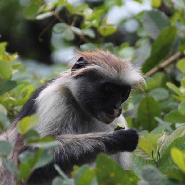 El colobo rojo, endémico de Zanzibar