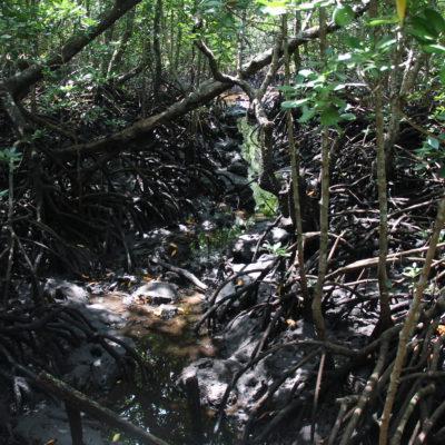Las enormes raices de los manglares, visibles en época seca
