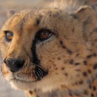Un lindo guepardo desde muy cerca...