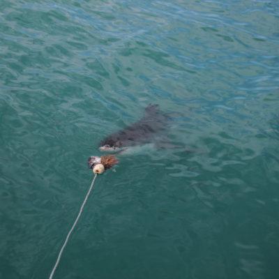 Ver el primer tiburón acercarse al cebo fue de lo más emocionante