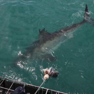 Bucear con tiburones y los vinos sudafricanos (día 391-392)