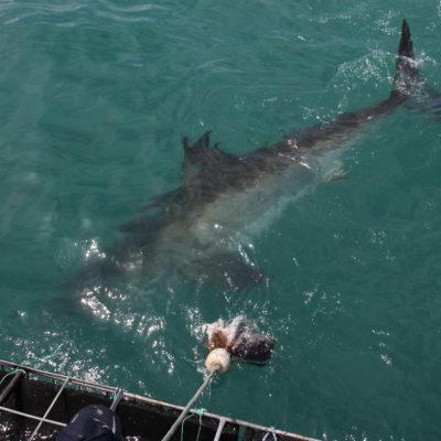 Pero la característica más conocida del tiburón es, sin duda, la aleta