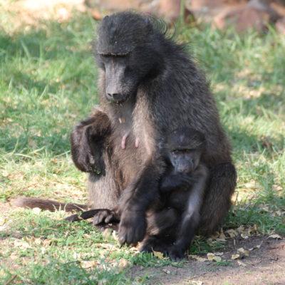 Había babuínos de todos los tamaños por todas partes a todas horas