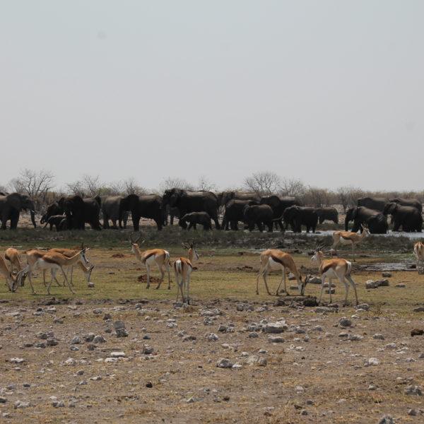 La enorme manada de elefantes que vimos ambos días en Riotfontein nos encantó