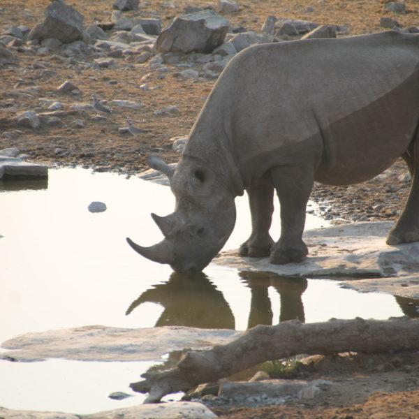 Este rinoceronte solitario fue el primero que vimos acercarse al pozo