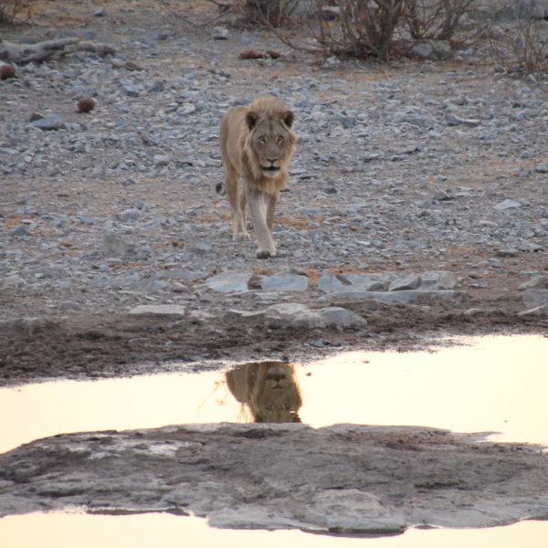 Cuando vimos llegar al león, no podíamos creernos la suerte que habíamos tenido al coincidir con él