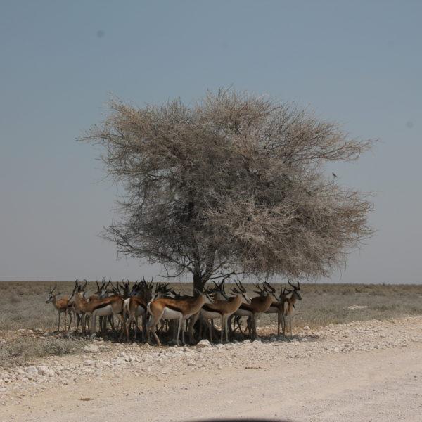 Resultó gracioso como estas impalas se apelotonaban en la sombra del árbol para escapar del sol aplastante