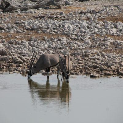Fue aquí donde vimos a los elegantes oryx por primera vez