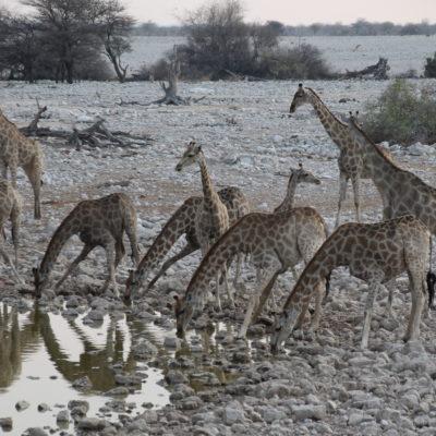 Aunque costó su tiempo, conseguimos ver a todas estas jirafas juntas doblando el cuello para beber