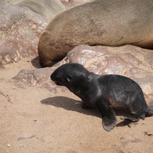 Ésta fue la foca más pequeña que encontramos en el grupo
