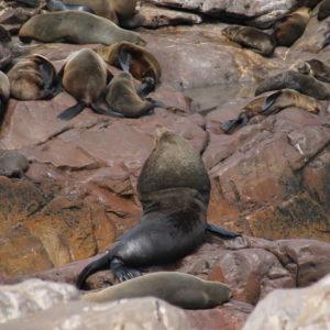 Ésta, en cambio, fue la foca más grande, o una de ellas por lo menos