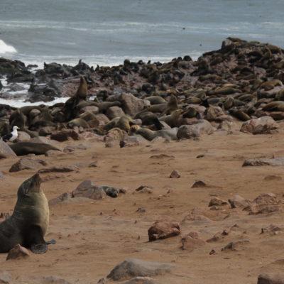 En solitario o apelotonadas unos encima de otros, pero había un montón de focas