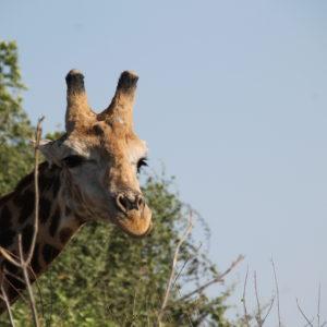 Nos encantan las pestañas de esta jirafa